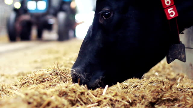 black cow in a farm cowshed eating hay - hay background stock videos & royalty-free footage