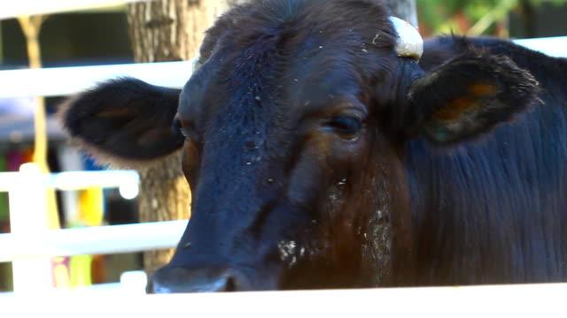 vídeos de stock, filmes e b-roll de vaca preta - rancho