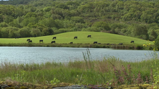 black cows grazing in a field by a lake - animal themes stock videos & royalty-free footage
