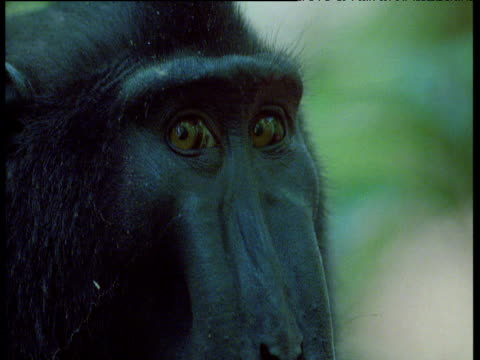 black crested macaque looks around, sulawesi - macaque stock videos and b-roll footage
