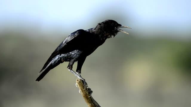 Black crow calling