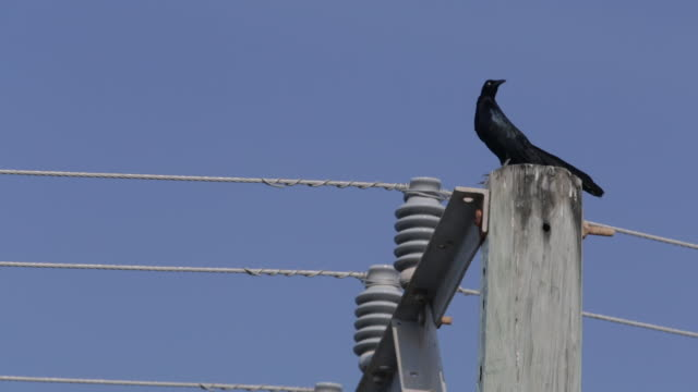 Black crow on a power line