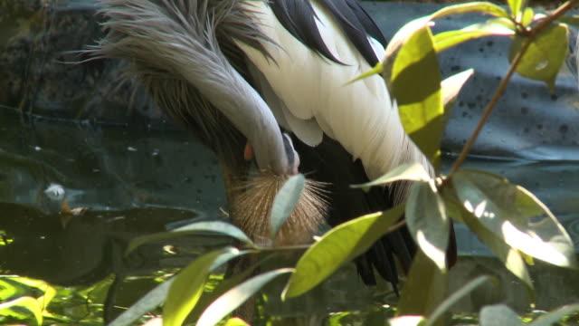stockvideo's en b-roll-footage met black crowned crane picking at feathers - bukken