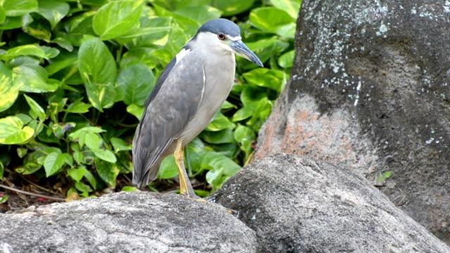 black crowned night heron - heron stock videos & royalty-free footage