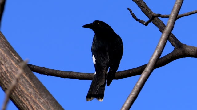 black currawong on a bough - crow stock videos & royalty-free footage