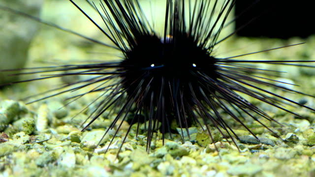 ฺblack diadem sea urchin on coral reef, 4k. - ricci di mare video stock e b–roll