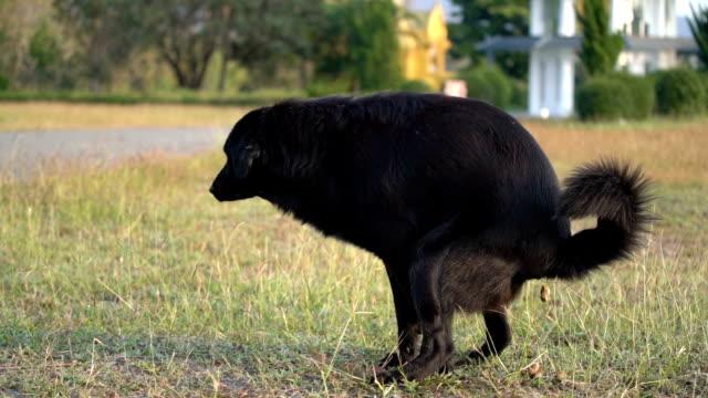 vídeos y material grabado en eventos de stock de slo-mo perro negro pooping - excremento