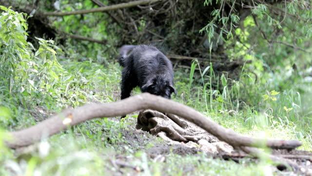 vídeos y material grabado en eventos de stock de perro negro tirando de un paño cavado - trapo de limpiar el polvo