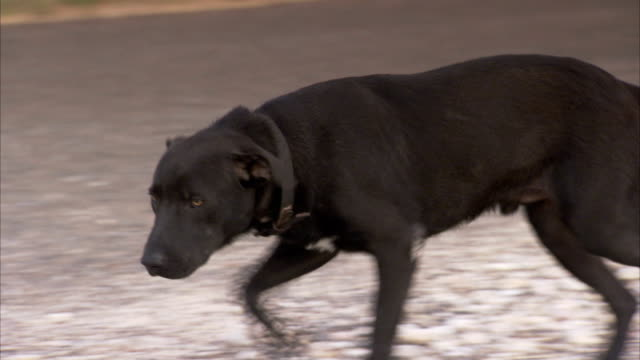 a black dog scampers around on a country road in texas. available in hd. - fear stock videos & royalty-free footage