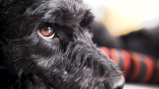 black dog with beautiful eyes - dog blinking stock videos & royalty-free footage
