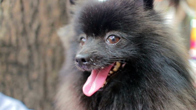 black dog,close up - pampered pets stock videos and b-roll footage