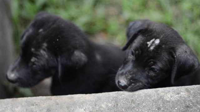 Cani nero
