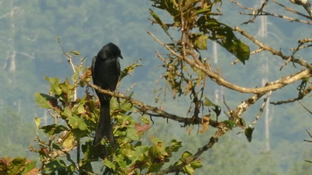 black drongo resting on the tree - drongo stock videos and b-roll footage