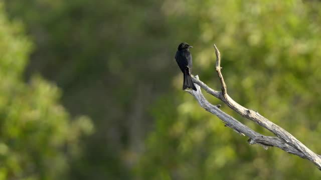 black drongo (dicrurus macrocercus) - drongo stock videos and b-roll footage