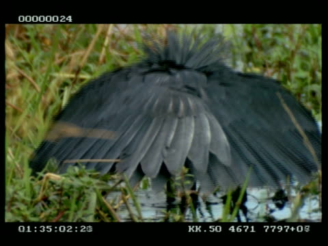 cu black egret, hunting, pulls wings up over head to see in water, to camera - egret stock videos and b-roll footage