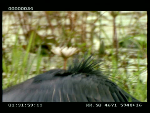 cu black egret wading, hunting, repeatedly pulls wings up over head to see in water - reihergattung egretta stock-videos und b-roll-filmmaterial