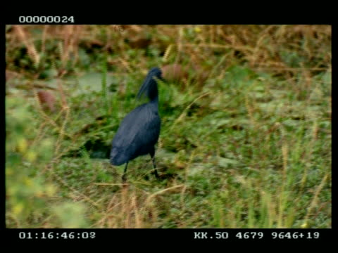 mcu black egret walking through water, pulls wings over head to see in water - reihergattung egretta stock-videos und b-roll-filmmaterial