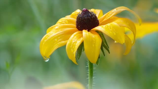 black eyed Susan flower and dew drops
