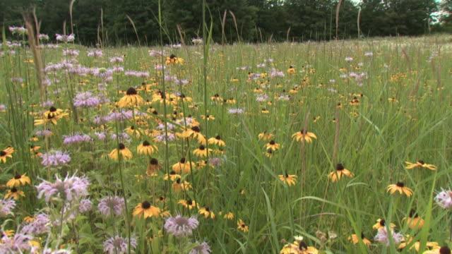 ms pan black eyed susans (rudbeckia hirta) and wild bergamots (monarda fistulosa) growing on meadow, tweed, ontario, canada - ベルガモット点の映像素材/bロール