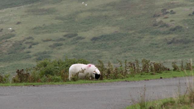 black faced lamb in rural scotland - johnfscott stock videos & royalty-free footage