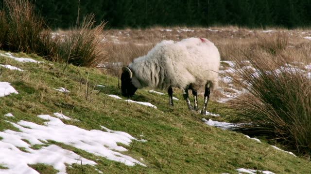Black faced sheep grazing in a remote part of Scotland