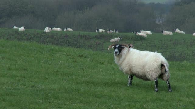 Schwarze konfrontiert Schafe stehen in einem Feld an einem grauen, bewölkten Tag