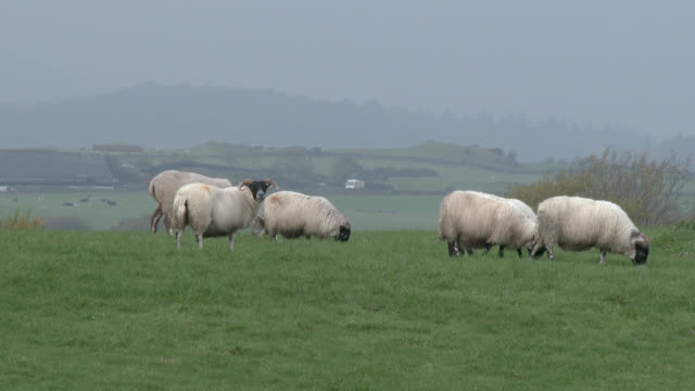 Black faced sheep standing in field on a grey overcast day