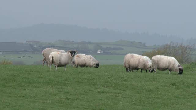 Schwarze konfrontiert Schafe stehen im Feld an einem grauen, bewölkten Tag