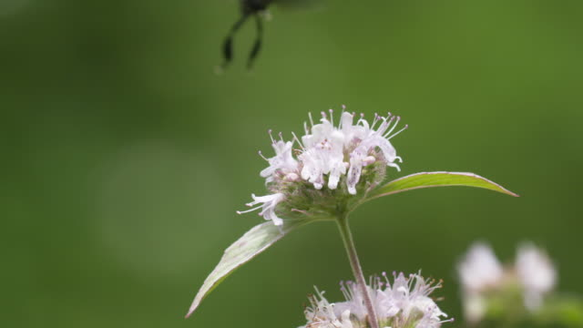 Black fly landing on mint flowers HS closeup