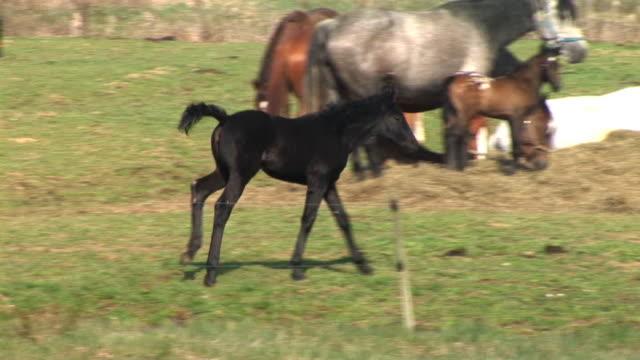 hd :ブラックの子馬 - 子馬点の映像素材/bロール