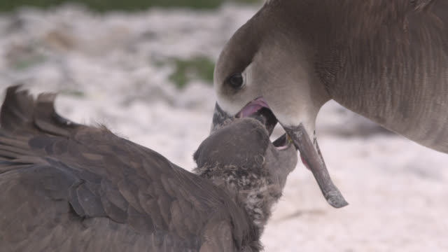 black footed albatross (phoebastria nigripes) feeds chick on beach, hawaii - sea water bird stock videos & royalty-free footage