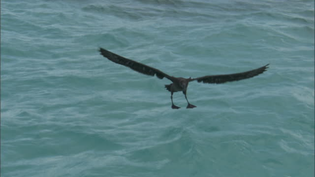 black footed albatross (phoebastria nigripes) lands on sea, hawaii - landen stock-videos und b-roll-filmmaterial