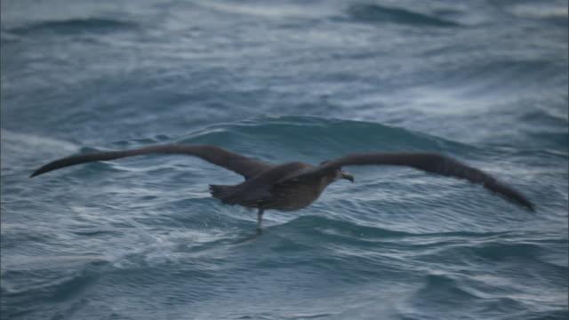 vídeos de stock, filmes e b-roll de black footed albatross (phoebastria nigripes) splashes on surface of sea, hawaii - oceano pacífico do sul