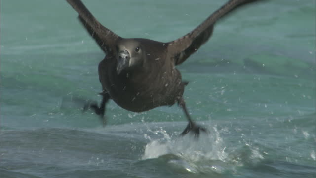 black footed albatross (phoebastria nigripes) takes off from sea, hawaii - albatross stock videos & royalty-free footage