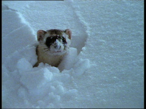 black footed ferret pokes head out of hole in snow and looks around with snow on nose - confusion stock videos & royalty-free footage