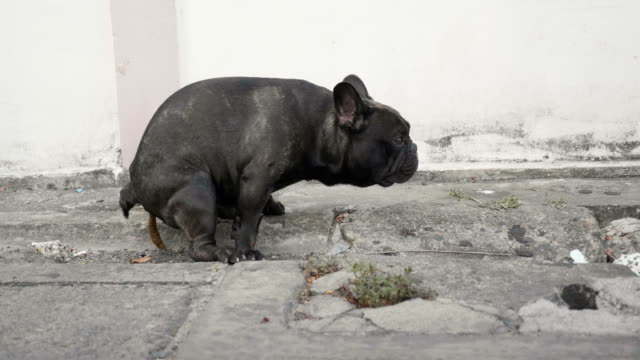 Black French Bull Dog pooping on street.