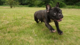 Black French Bulldog puppy running outdoor,4k
