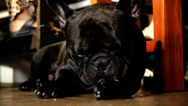 black french bulldog waiting for a food on floor. - french bulldog stock videos and b-roll footage