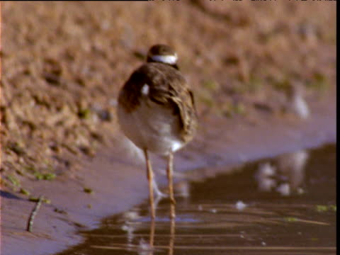 "stockvideo's en b-roll-footage met black fronted dotterel forages and wades at edge of lake, diamantina, queensland, australia - ""bbc natural history"""