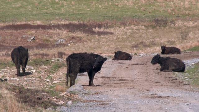 Schwarze Galloway Rinder in einer ländlichen Umgebung in Dumfries und Galloway Süd-west-Schottland