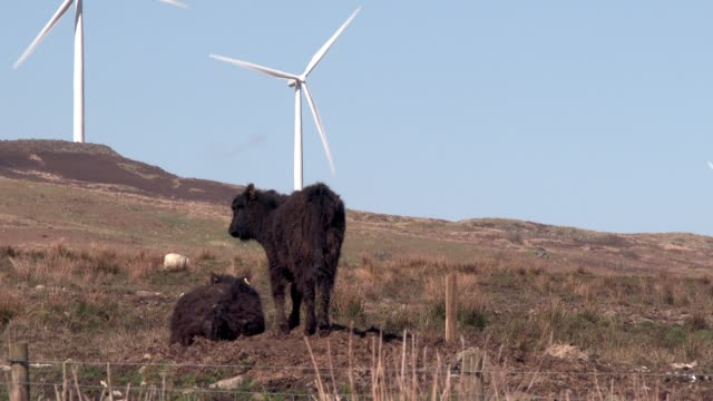 Black Galloway beef cattle in a rural setting in Dumfries and Galloway south west Scotland