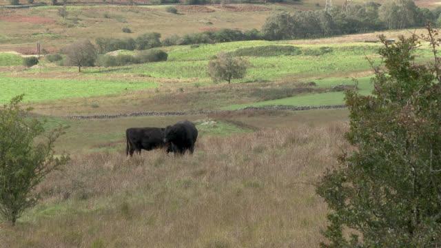 Schwarze Galloway Rinder in einem schottischen Feld