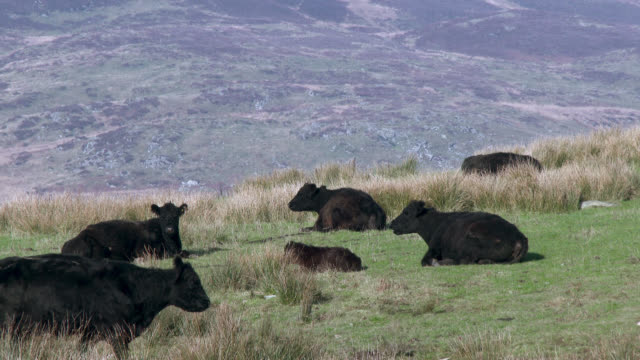 black galloway beef cattle in a scottish field - johnfscott stock videos & royalty-free footage