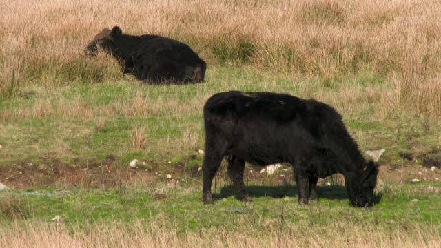 Black Galloway beef cattle in a Scottish field
