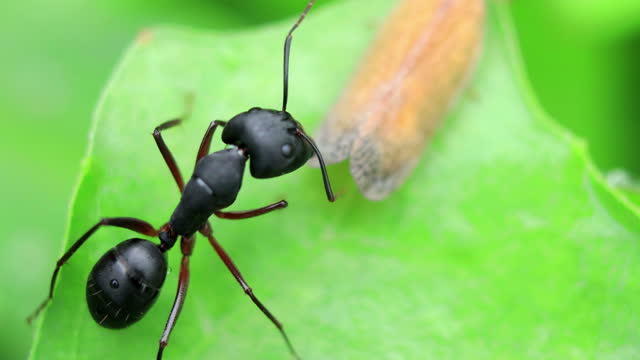 black garden ant - ant stock videos & royalty-free footage