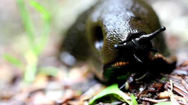 Black giant Slug macro