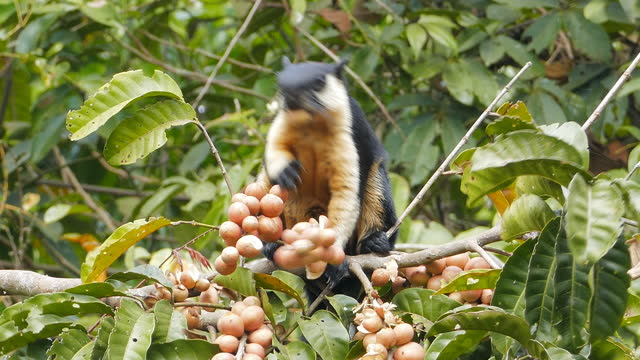 black giant squirrel eating fruit on treetop. - zoology stock videos & royalty-free footage