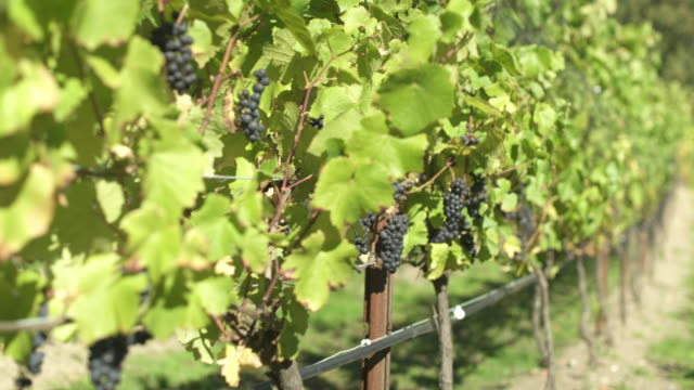 Black grapes in a vineyard
