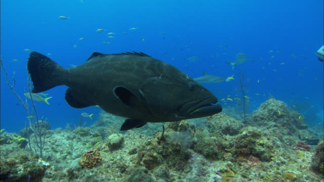black grouper over reef, bahamas  - grouper stock videos & royalty-free footage
