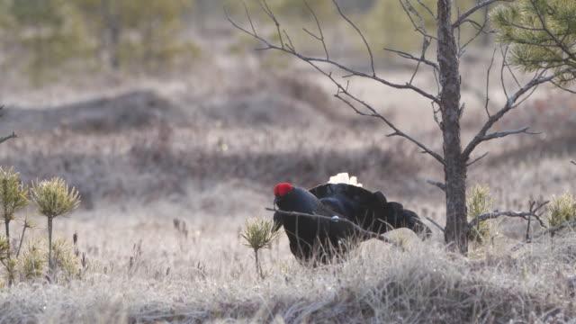 black grouse or blackgame or blackcock (lyrurus tetrix) - lek stock videos & royalty-free footage